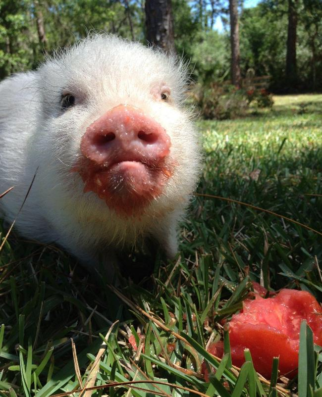 hamlest-cutest-pig-watermelon