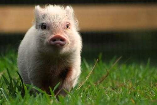 Hamlet Cute Pig