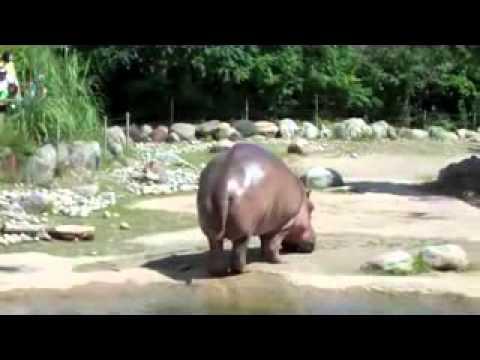 Video thumbnail for youtube video Hippopotamus Rips A Gigantic Fart