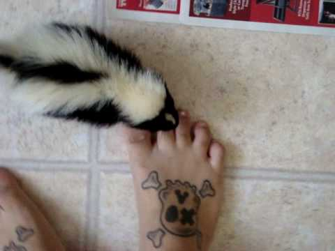 Pet Skunk Wants To Get Picked Up