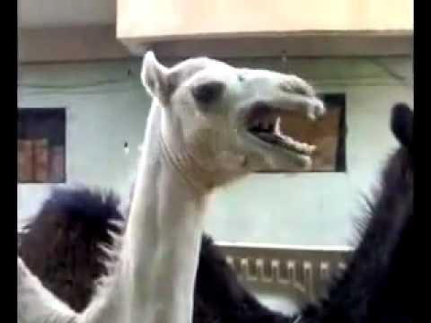 A Ticklish Camel