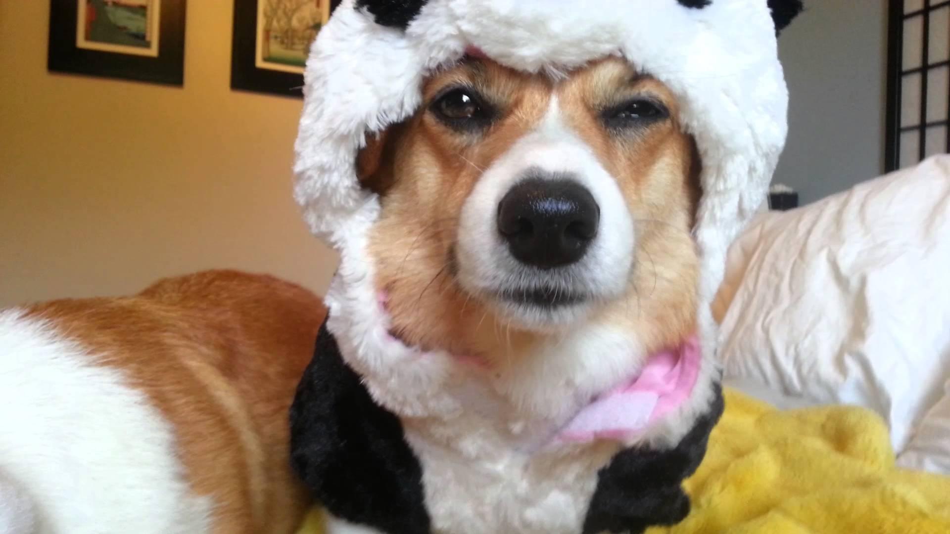 Corgis Do Not Like Their Panda Costumes