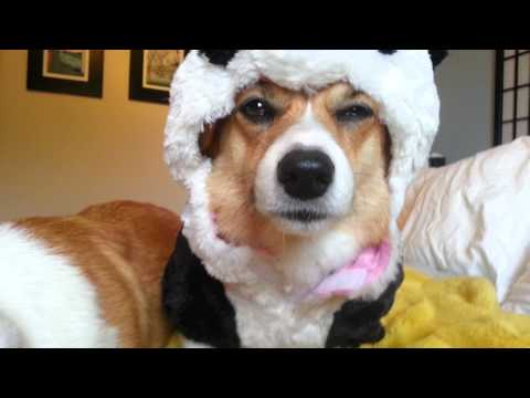Video thumbnail for youtube video Corgis Do Not Like Their Panda Costumes