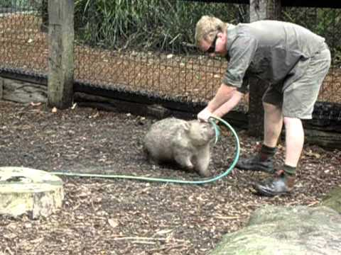 Wombat Really Wants To Play