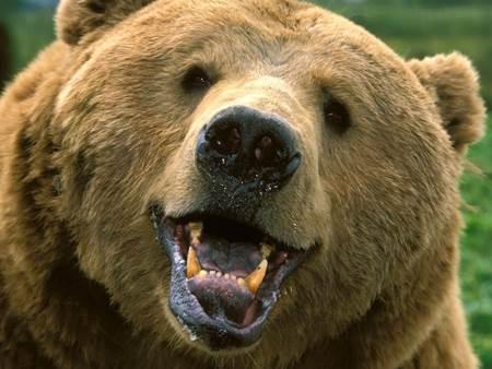 awesome-bear-gifs
