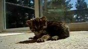 Baby Leopard Makes Laser Sounds