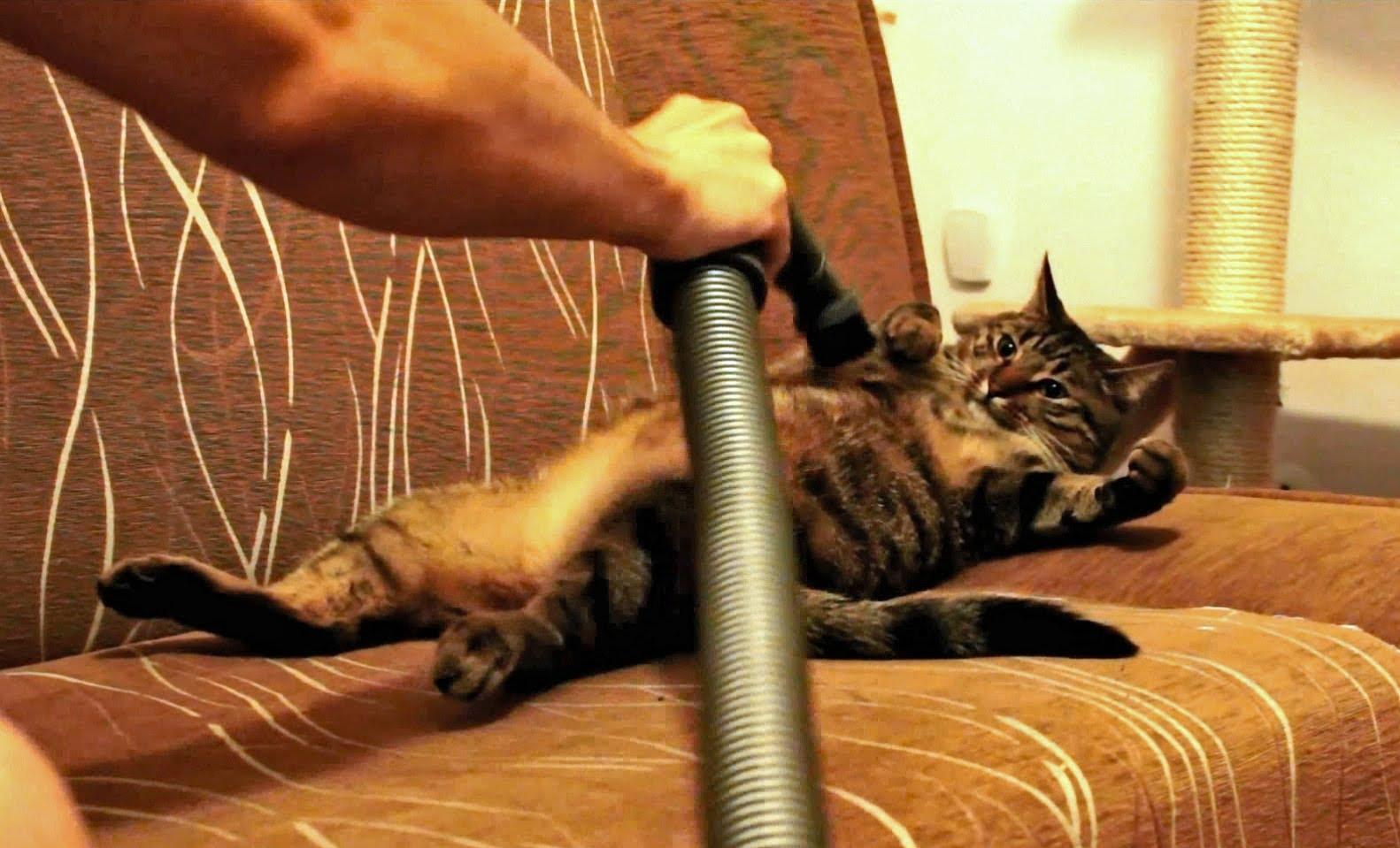 Cat Loves Getting Vacuumed