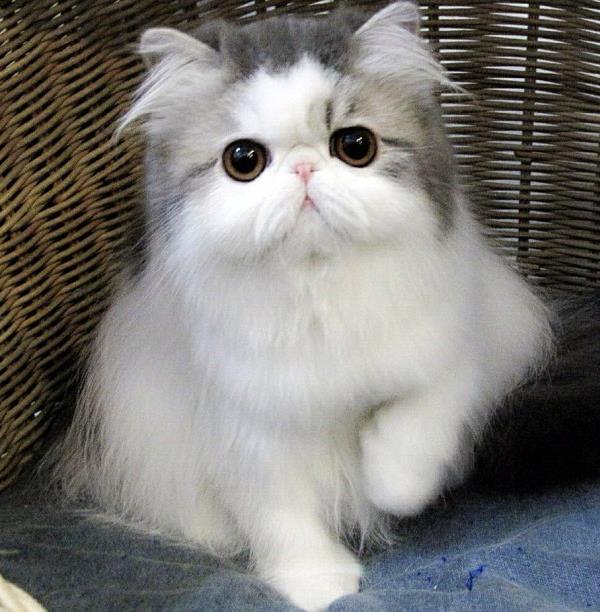 Persian Cat Hope
