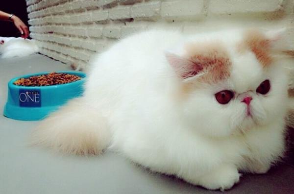 Iliad Exotic Short Hair Cat