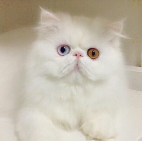 Titan Cat