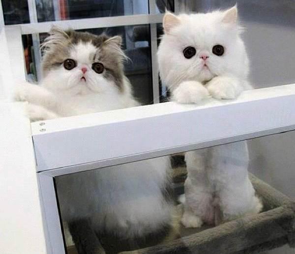 Fluffy Persin Cats