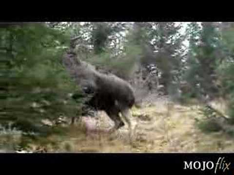 Gigantic Moose Chases Dog