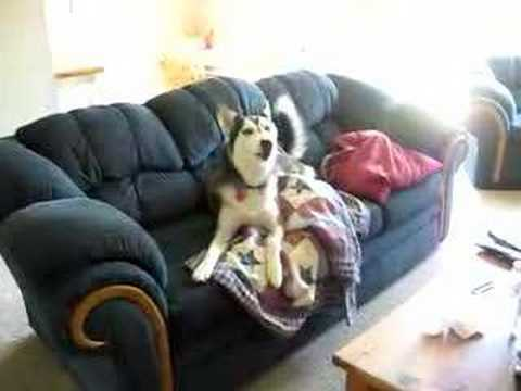 Husky Throws A Temper Tantrum