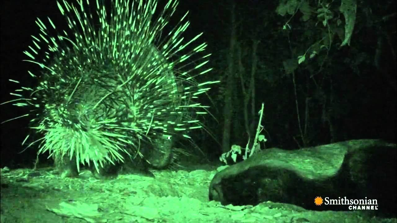 A Honey Badger Versus A Porcupine