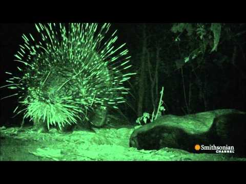Video thumbnail for youtube video A Honey Badger Versus A Porcupine