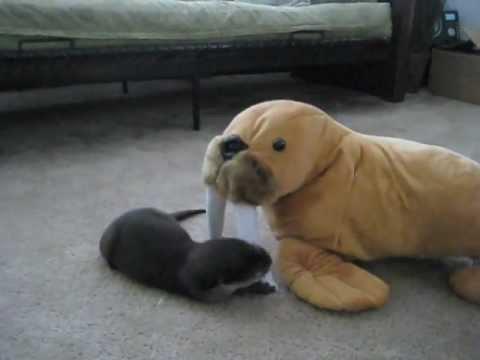 Baby Otter Versus Stuffed Walrus