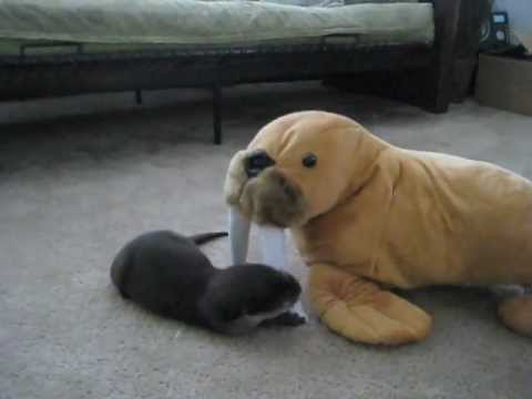 Video thumbnail for youtube video Baby Otter Versus Stuffed Walrus