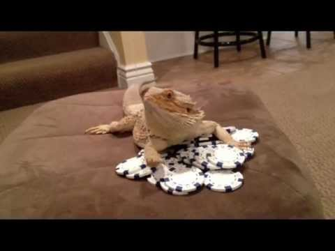 Video thumbnail for youtube video Bearded Dragon Swag