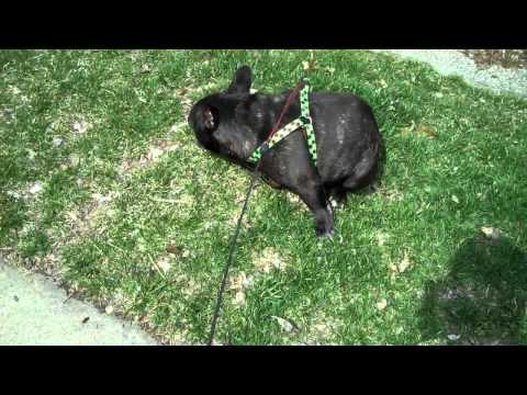 Video thumbnail for youtube video French Bulldog Is Scared Of His Own Farts