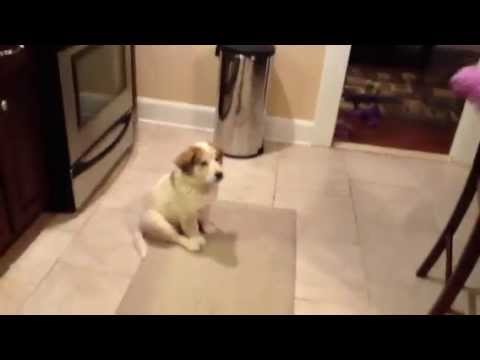 Video thumbnail for youtube video Puppy Learns To Play Catch