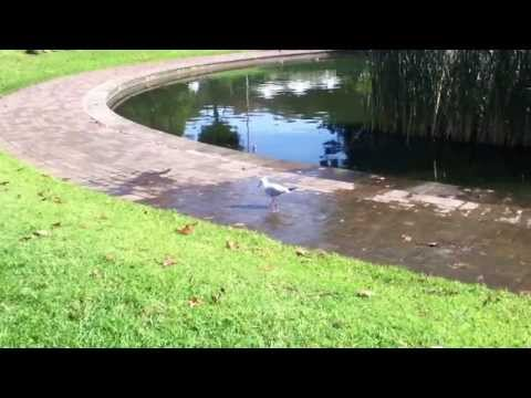 Video thumbnail for youtube video Seagull Practicing His Tap Dancing