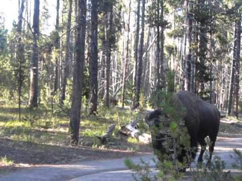 Close Encounter With A Bison