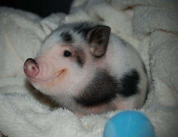 Cutest Pictures Adorable Pig