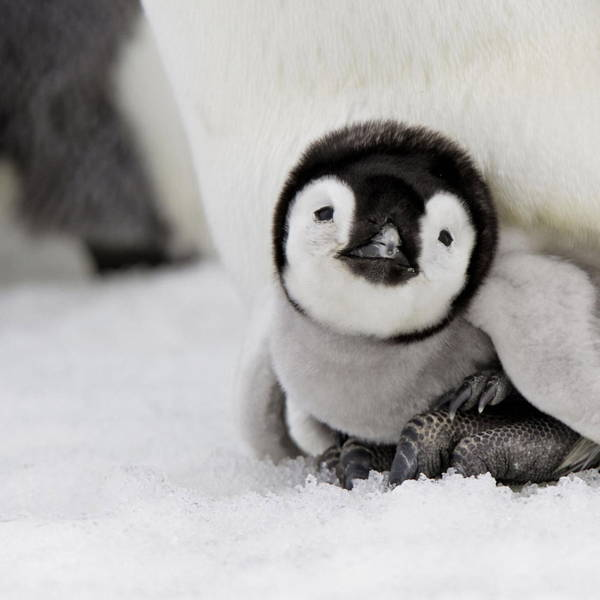 Cutest Pictures Baby Penguin