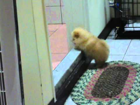 Fluffy Puppy Can't Climb A Step