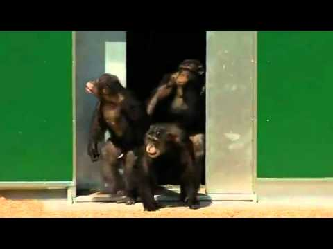 Video thumbnail for youtube video Lab Chimps Released In A Sanctuary