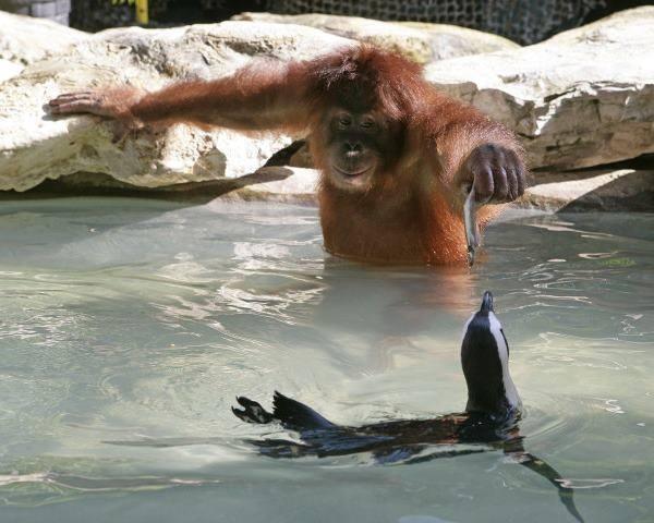 Orangutan Feeds Seal