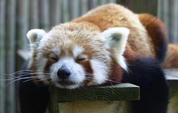 Red Panda Cutest Pictures Ever