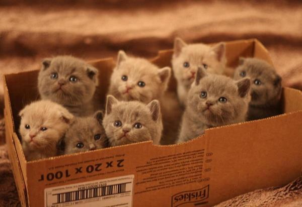 Box Of Scottish Fold Kittens