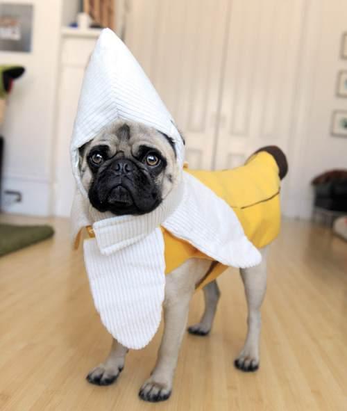 Banana Pug