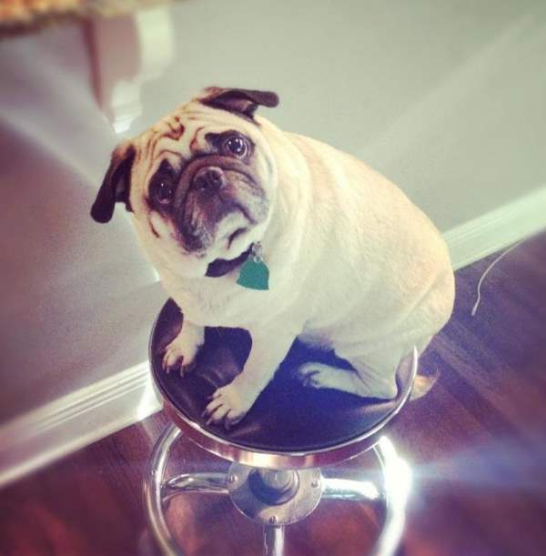 Cutest Pug Photos Sitting