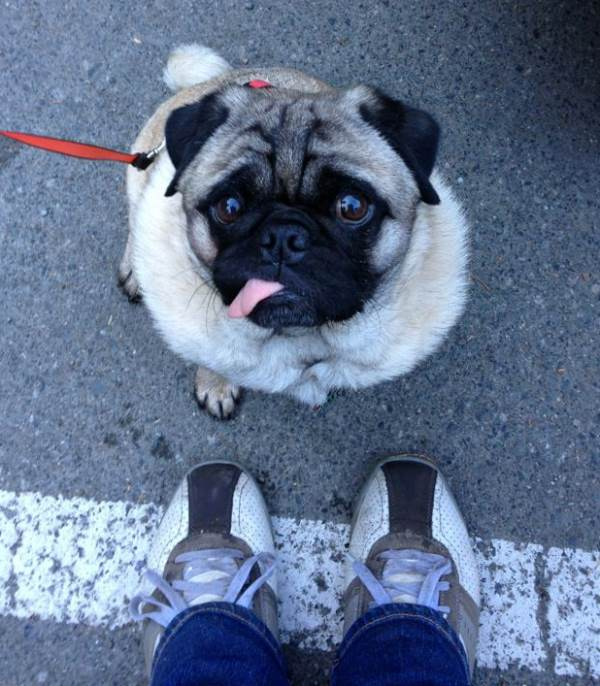 Cutest Pug Pictures Tongue