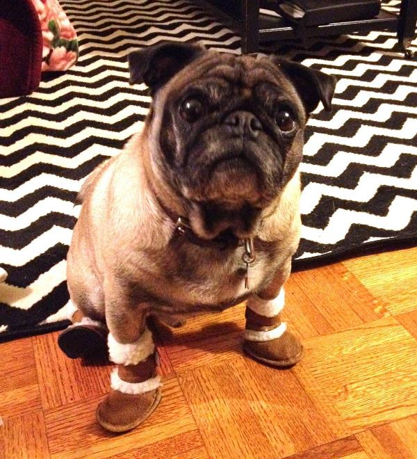 Cutest Pug Pictures Uggs