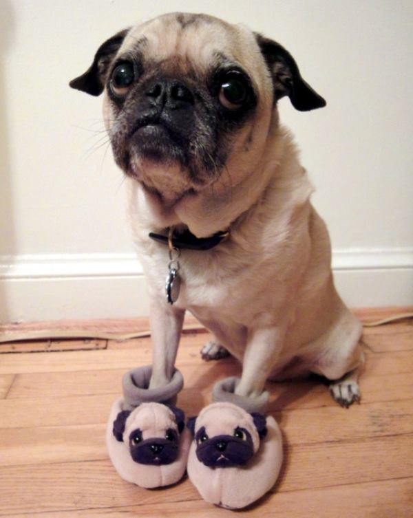 Cutest Pug Pictures