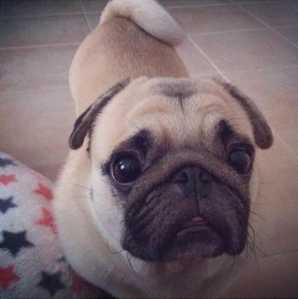 Cutest Pug Honey