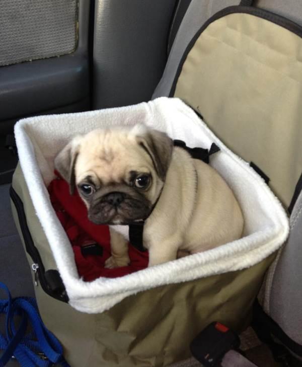 Cutest Pugs Puppy