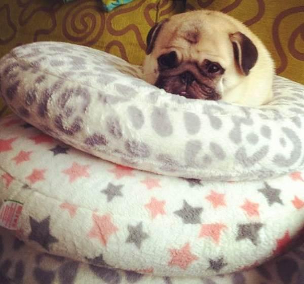 Cutest Pugs