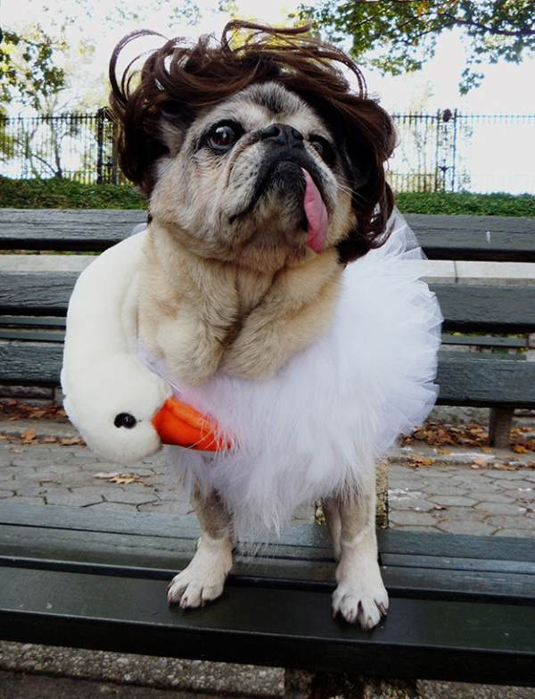 Funny Pug Costumes Bjork Swan Dress