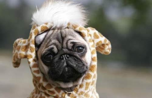 Giraffe Pug