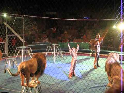 Group Of Lions Go Ballistic At The Circus