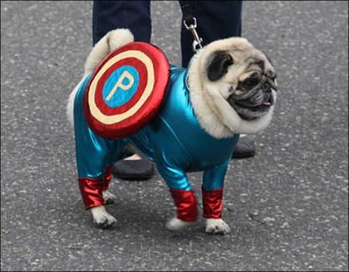 Halloween Pug Captain America