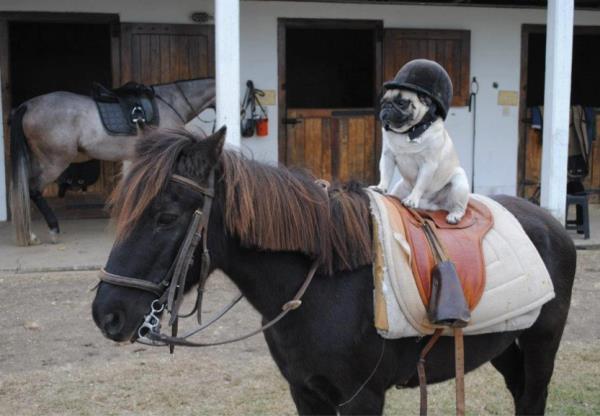 Horse Riding Pug