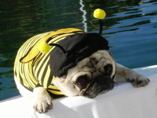 Pug Dressed As A Bumble Bee
