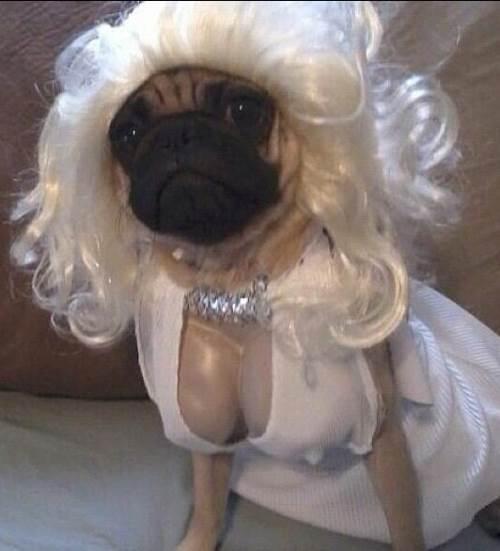 Marilyn Monroe Pug Costumes