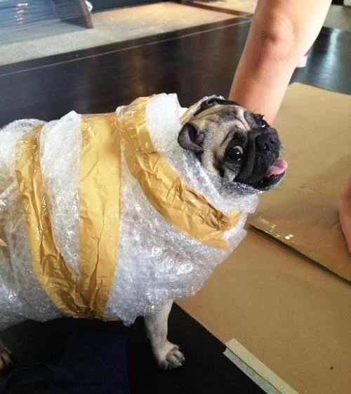 Pug Costumes UPS Delivery