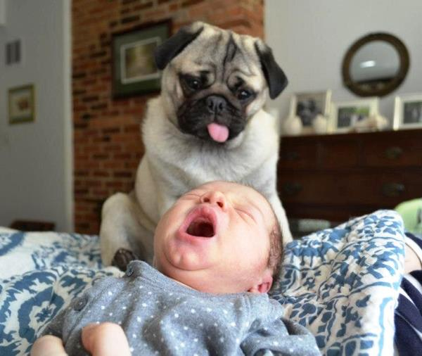 Pug Pictures Baby